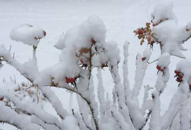 snow berries small